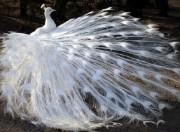 Набор для выкладки алмазной мозаикой Белый павлин
