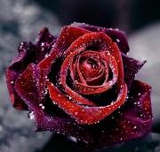 Набор для выкладки алмазной мозаикой Роса на розе