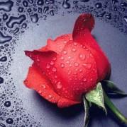 Набор для выкладки алмазной мозаикой Красная роза